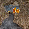 American Dipper with Nestlings-2646