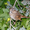 Lincoln's Sparrow-3686