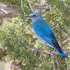 Mountain Bluebird-0343