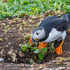 Puffin enters burrow-1558