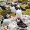 Atlantic Puffins group-1161
