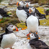 Atlantic Puffins group-1161-Edit