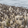 Guillemot Colony-0924