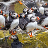 Atlantic Puffins group-1153