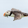 Atlantic Puffin in flight w sandeels-0815