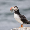 Atlantic Puffin w sandeels-0893