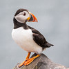 Atlantic Puffin-1115