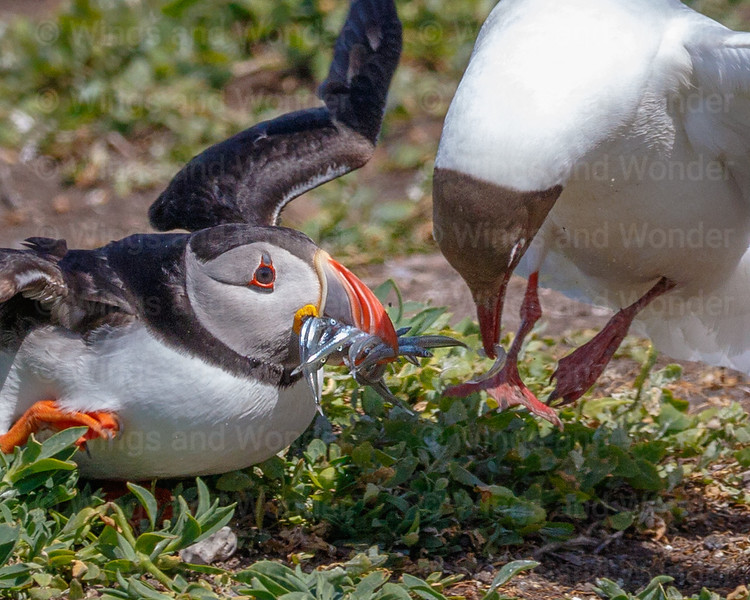 Puffin tries to escape Black-headed Gull-2