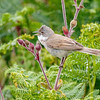Common Whitethroat-9536-Edit