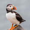 Atlantic Puffin-1117