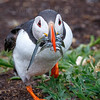 Atlantic Puffin w Sandeels-1272