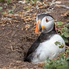 Puffin in burrow-1821
