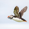 Atlantic Puffin in flight w sandeels-0871