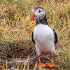 Puffin w Sandeels-0906