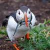 Atlantic Puffin w Sandeels-1272-Edit