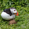Atlantic Puffin-9493