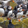 puffins group-1154