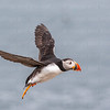 Puffin flight landing**-1220