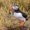 Atlantic Puffin w Sandeels*-0903