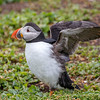 Atlantic Puffin-1385-Edit