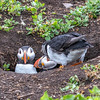 Two puffins at burrow-1561