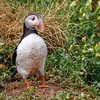 Atlantic Puffin-0699