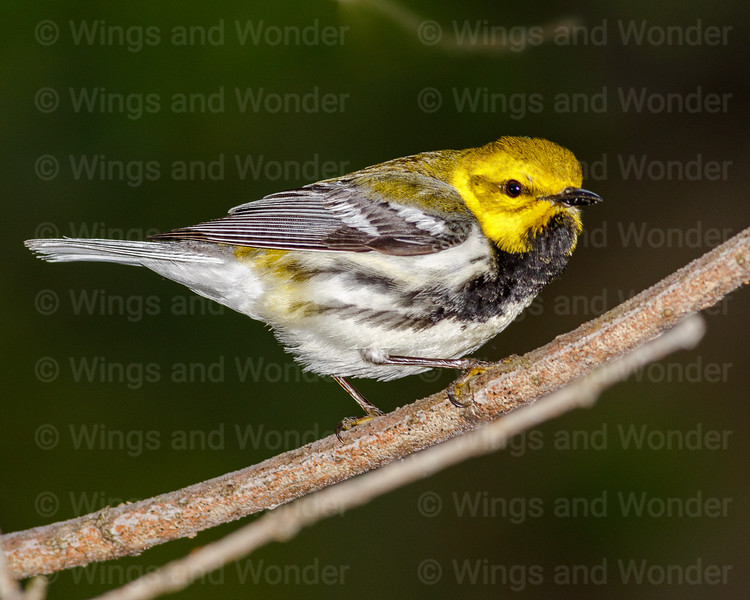 Black-throated Green Warbler-0434