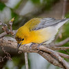 Prothonotary Warbler-0694-Edit