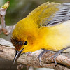 Prothonotary Warbler-0694