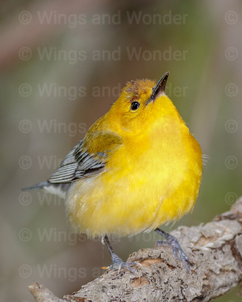Prothonotary Warbler-0701