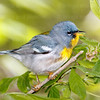 Northern Parula-0444-Edit