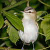 Red-eyed Vireo-0968-Edit-2