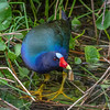 Purple Gallinule-7146-Edit-2