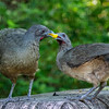 Plain Chachalaca-6860-Edit