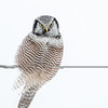 Northern Hawk Owl-9013