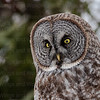 Great Gray Owl-9783