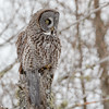 Great Gray Owl-8843