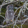 Great Gray Owl-9139