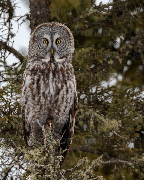 Great Gray Owl-8756