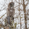 Great Gray Owl-8845-Edit