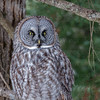 Great Gray Owl-9755