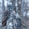 Great Gray Owl-8487-Edit-Edit