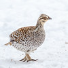 Sharp-tailed Grouse-9345