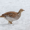 Sharp-tailed Grouse-9327