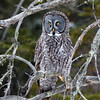 Great Gray Owl-9132