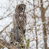 Great Gray Owl-8845