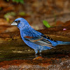 Blue Grosbeak-3785