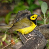 Hooded Warbler-3670-Edit-2