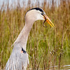 Great Blue Heron and snake-3769