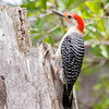 Red-bellied Woodpecker-4144-Edit